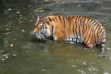Tiger bathing №45708