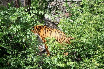 Tiger in the bush №45620