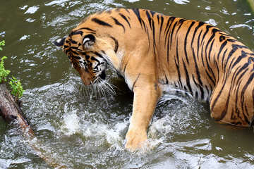 Tiger playing in the water №45680