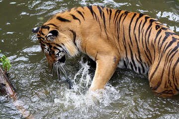 Tiger playing in the water №45684