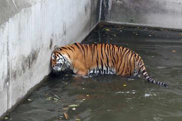 Tiger in pool №45648