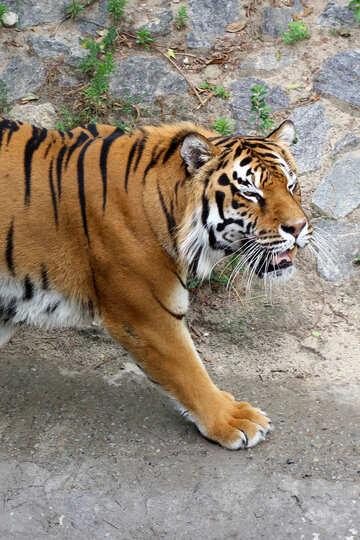 Tiger roars №45600