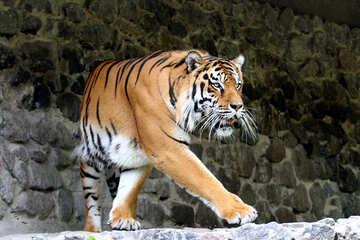 Tiger roars №45609