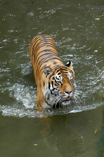 Tiger roars №45632