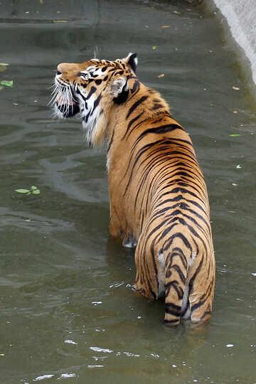 Tiger roars №45719