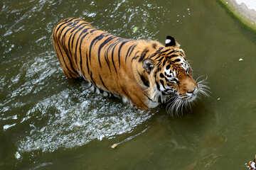 Tiger swimming №45705