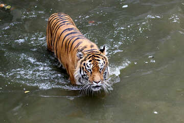 Tiger swimming №45710