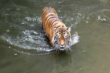 Tiger swimming №45728