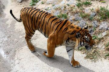 Tiger walks №45628