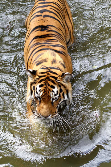 Tiger in the water №45670