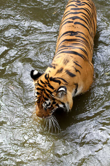 Tiger in the water №45672