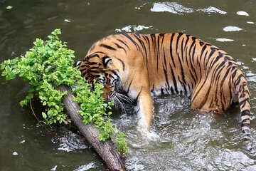 Tiger water №45701