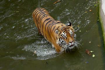 Tigress №45651