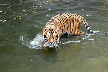 Water tiger №45724