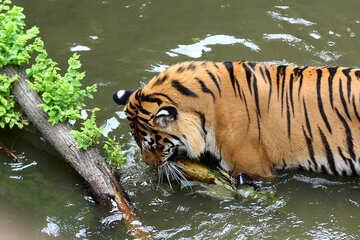 Tiger bathing №45713