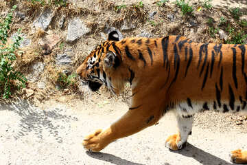 Tiger is go №45631