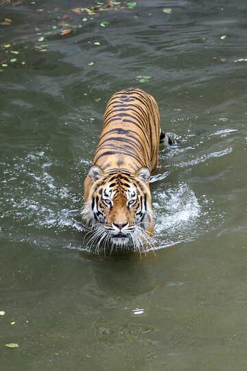 Tiger swimming №45726