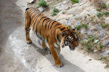 Tiger walks №45627