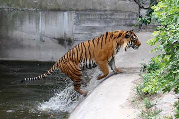 Tiger at the zoo №45735