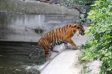 Tiger at the zoo №45736