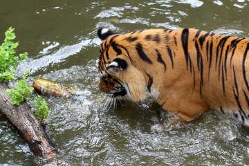 Tiger bathing №45690