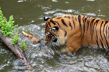 Tiger bathing №45691