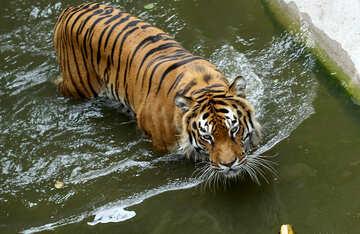 Tiger bathing №45706