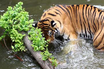 Tiger plays №45662