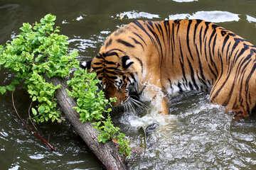 Tiger plays №45663
