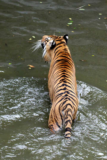Tiger in pool №45655