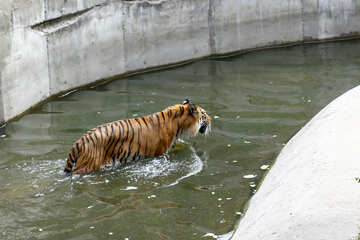 Tiger in pool №45718