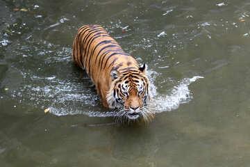 Tiger swimming №45711