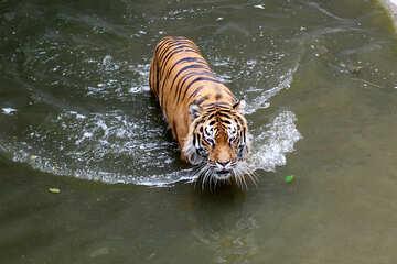 Tiger swimming №45729