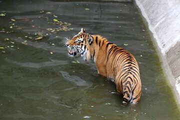 Tiger at the zoo №45721