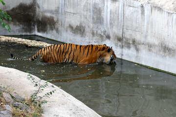 Tiger at the zoo №45737