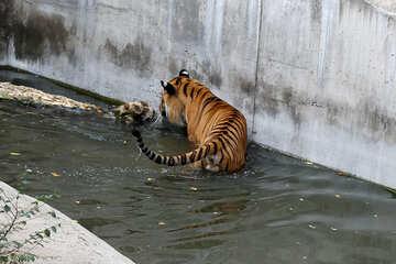 Tiger at the zoo №45738