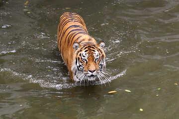 Tigress №45652