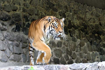 Beautiful tiger №45622