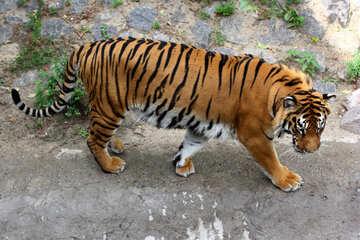 Tiger №45605