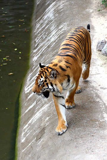 Tiger è №45637