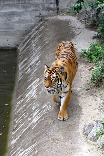 Tiger is №45638