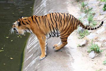 Tiger №45641