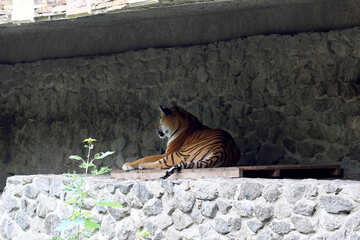 Tiger lying in the shade №45731