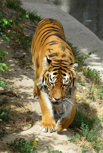 Tiger in the park №45003