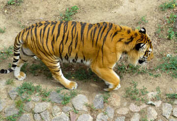 Tiger in the park №45038