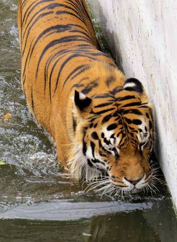 Tiger in pool №45033