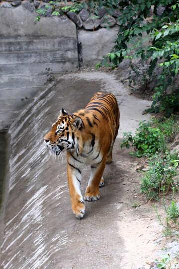 Tiger roars №45623