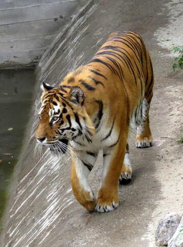 Tiger walks №45009