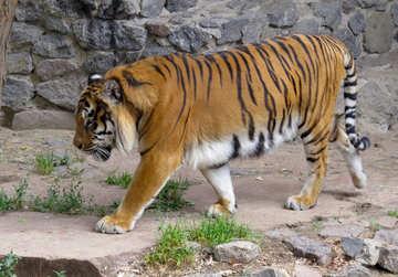 Tiger walks №45035