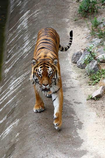 Tiger walks №45624